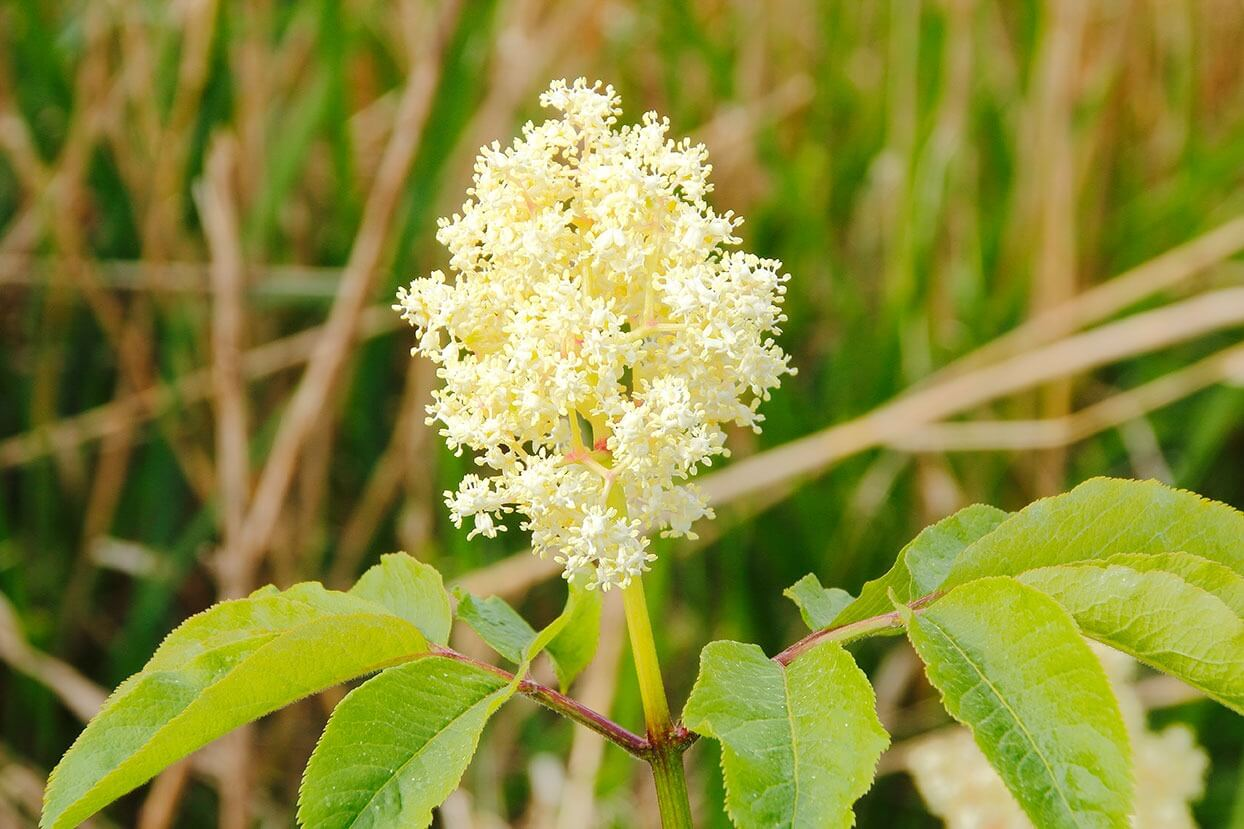The resveratrol in the Stem Cell Worx Spray comes from Japanese knotweed